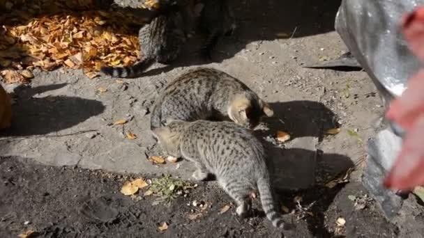Hajléktalan macskák és cica eszik a kenyeret