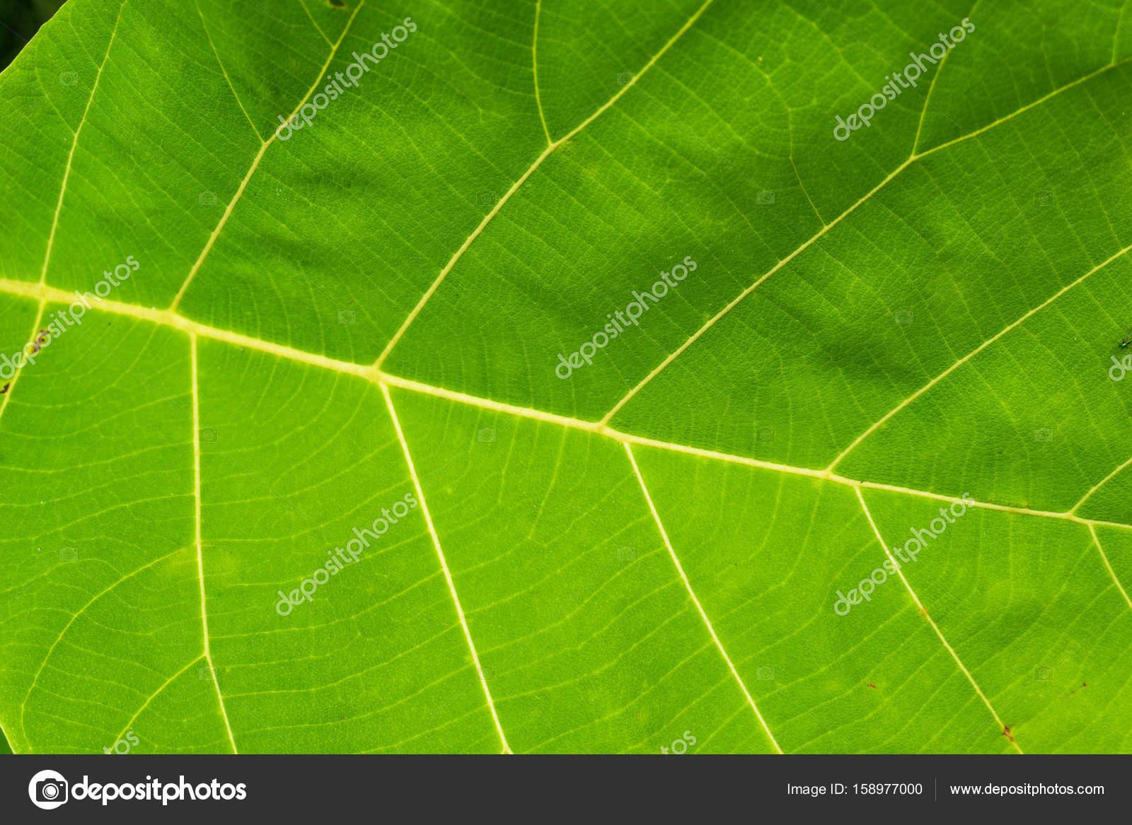 Teakbaum blatt  Teak-Baum Blatt — Stockfoto © ganglol00@gmail.com #158977000