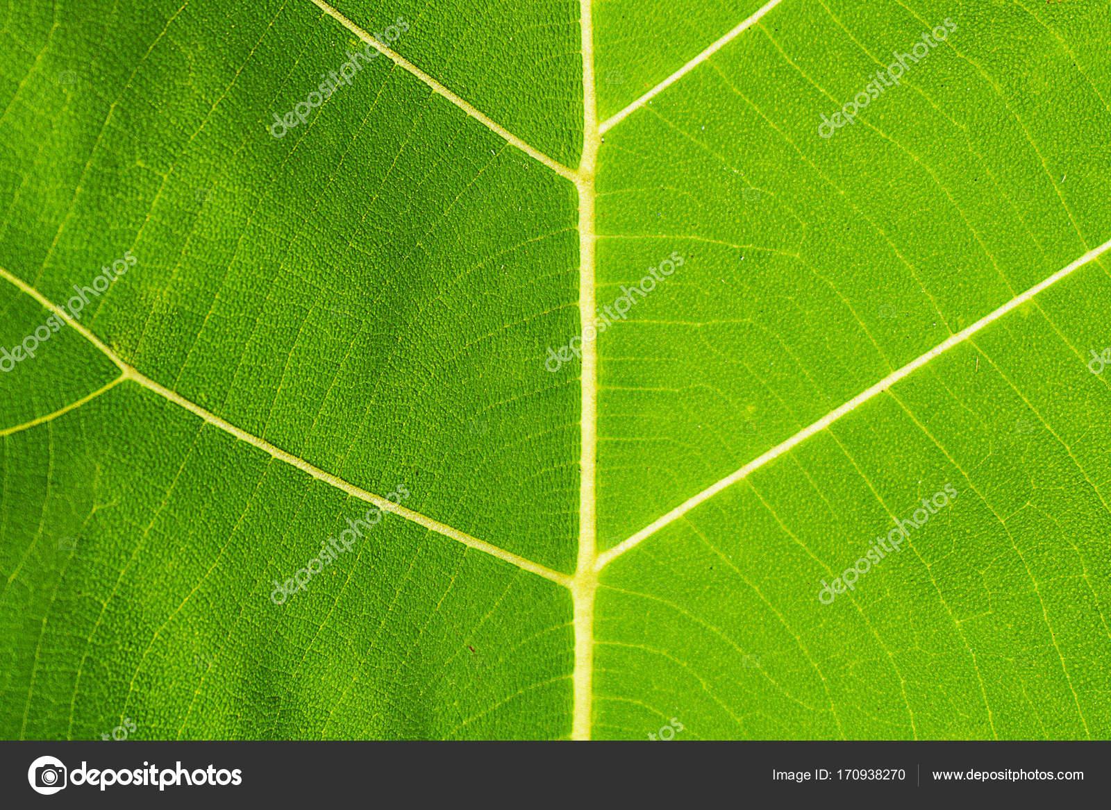 Teakbaum blatt  Teak-Baum Blatt — Stockfoto © ganglol00@gmail.com #170938270
