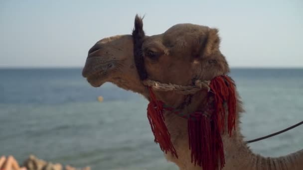 Man riding a camel slow motion