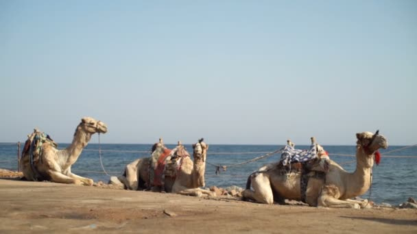 Three camels lying on the ground slow motion