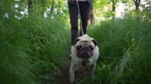 portré boldog kiskutya kutya a mopszli tenyészt séta zöld fű nyári nap lassú mozgás