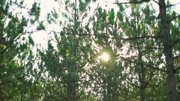 Jedle stromy, přírodní lesní sunny slunce rychlé zpomalené