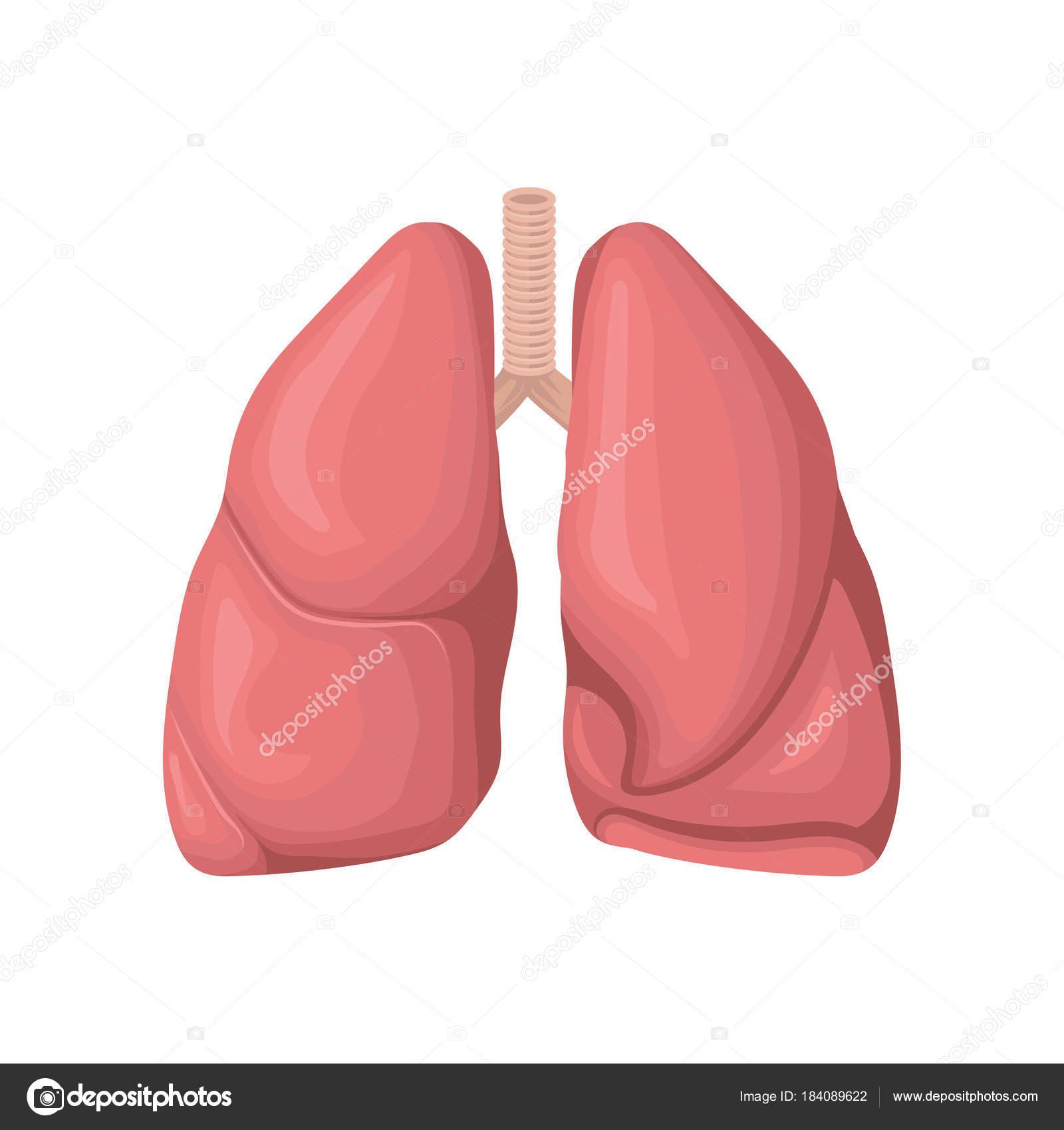 Struktur der menschlichen Lunge. Konzept der Atemwege. Interne Organ ...