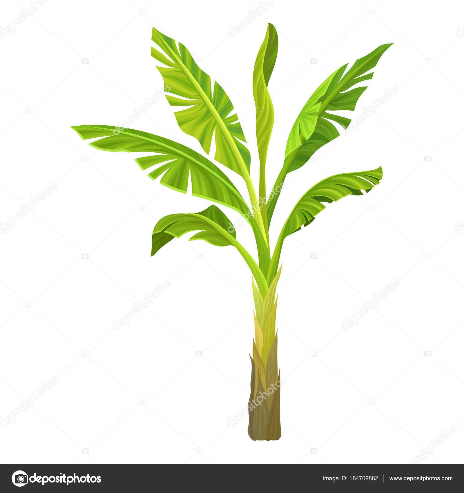 Ilustración de dibujos animados de la palma del plátano. Árbol con ...