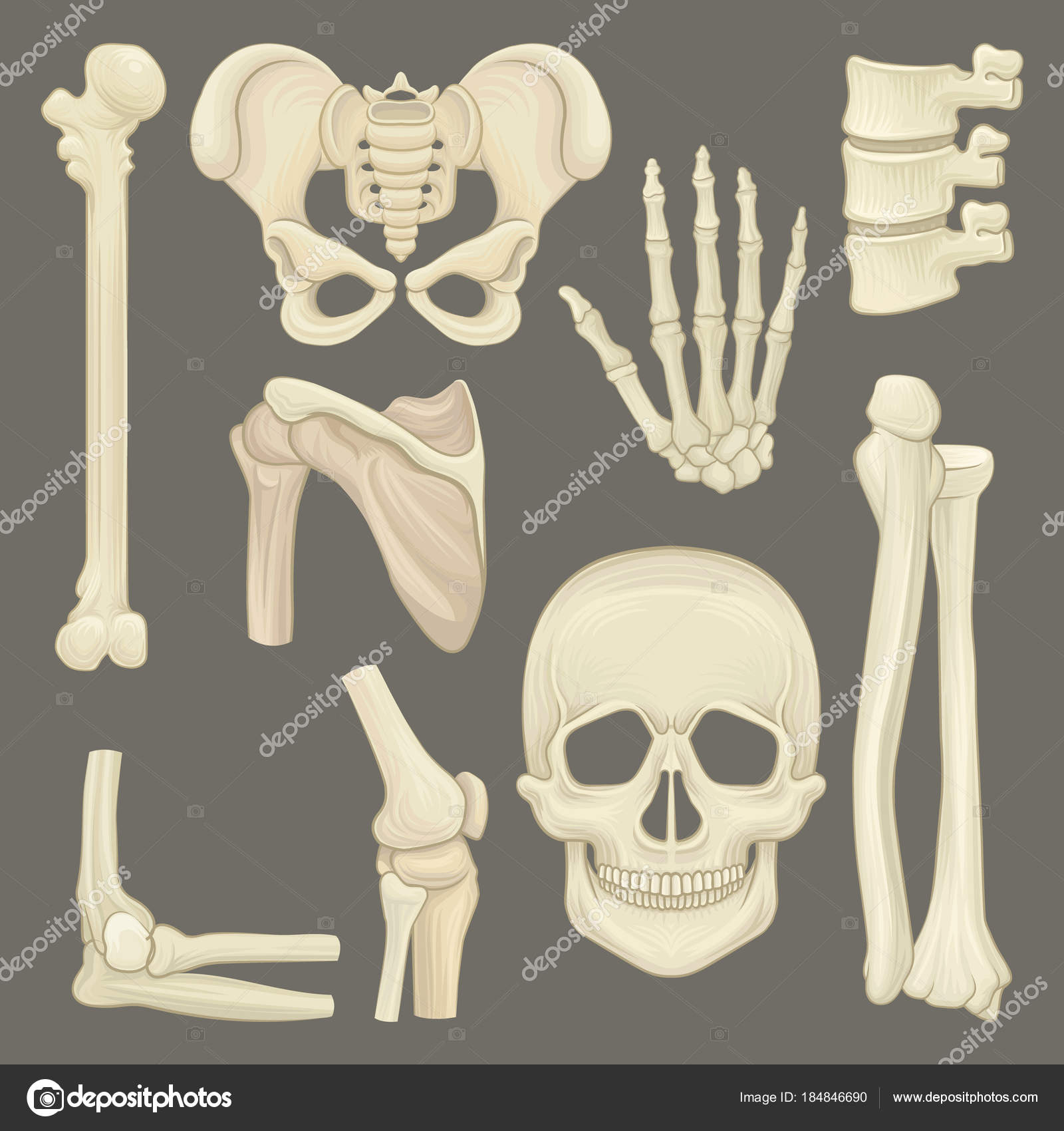 Parts of human skeleton. Skull, pelvic girdle, hand, humerus, lumbar ...