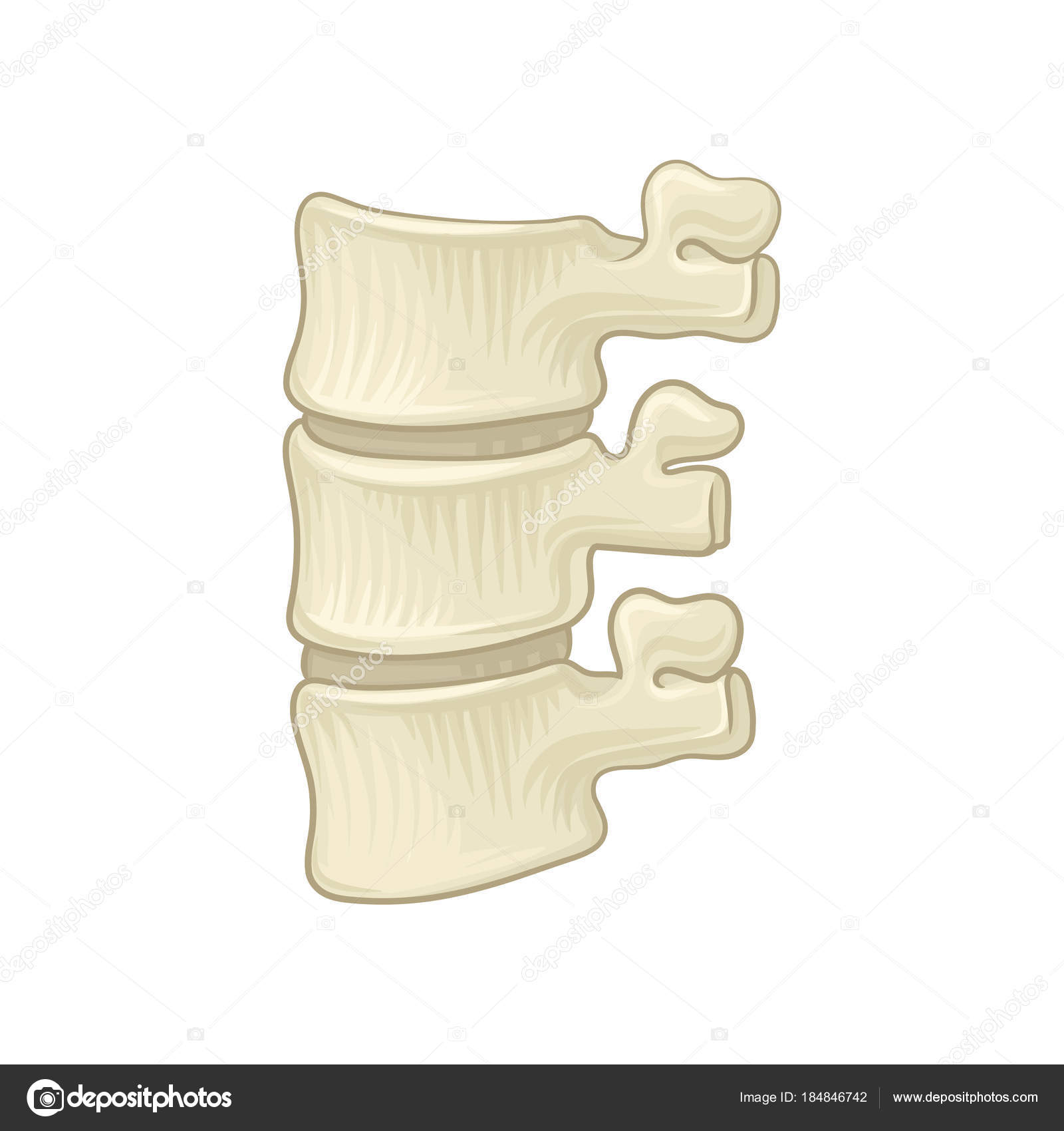 Anatomy Of Lumbar Spine Part Of Human Backbone Vertebral Bones And