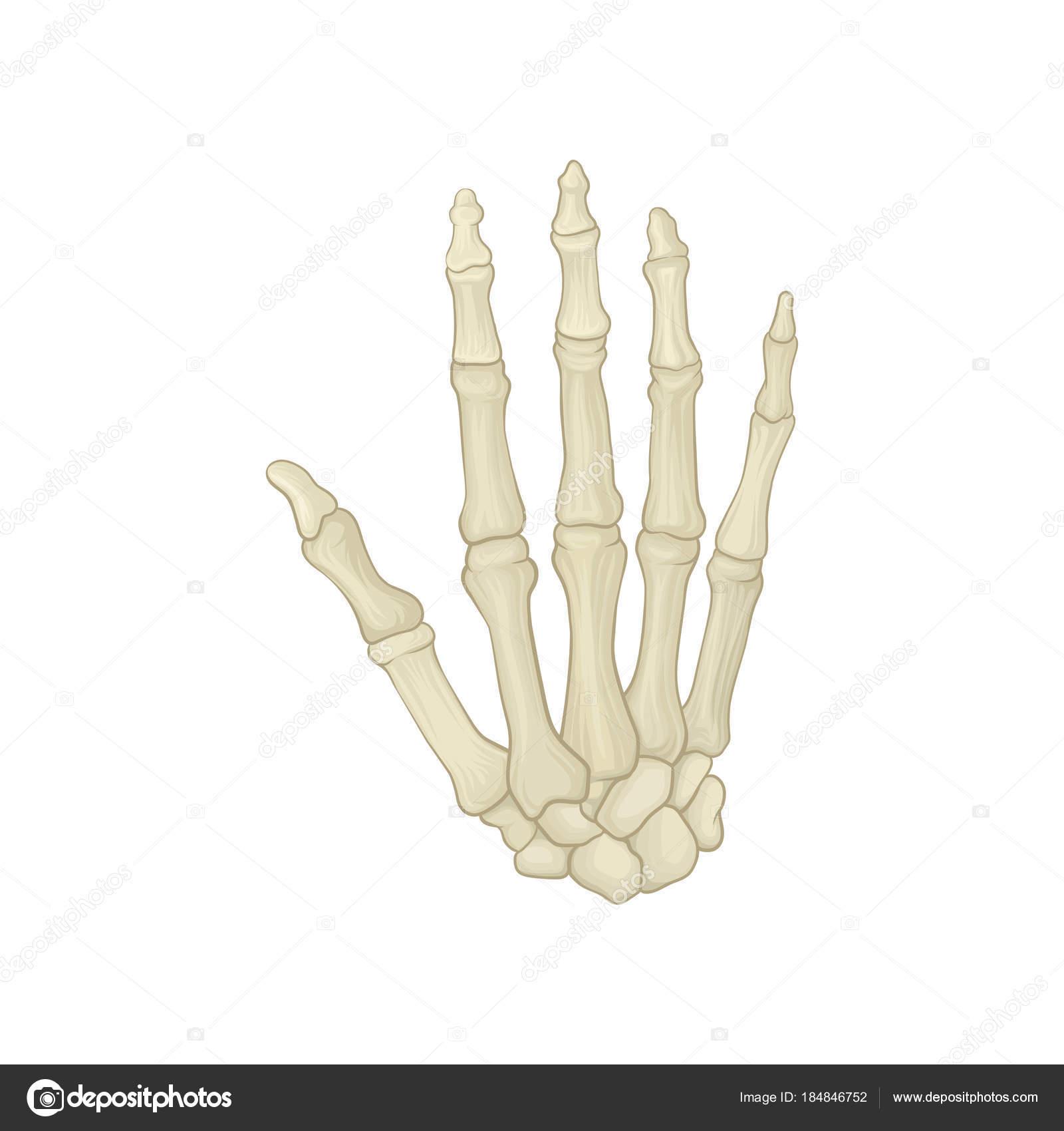 Skelett von Menschenhand. Handwurzelknochen, Mittelhandknochen und ...