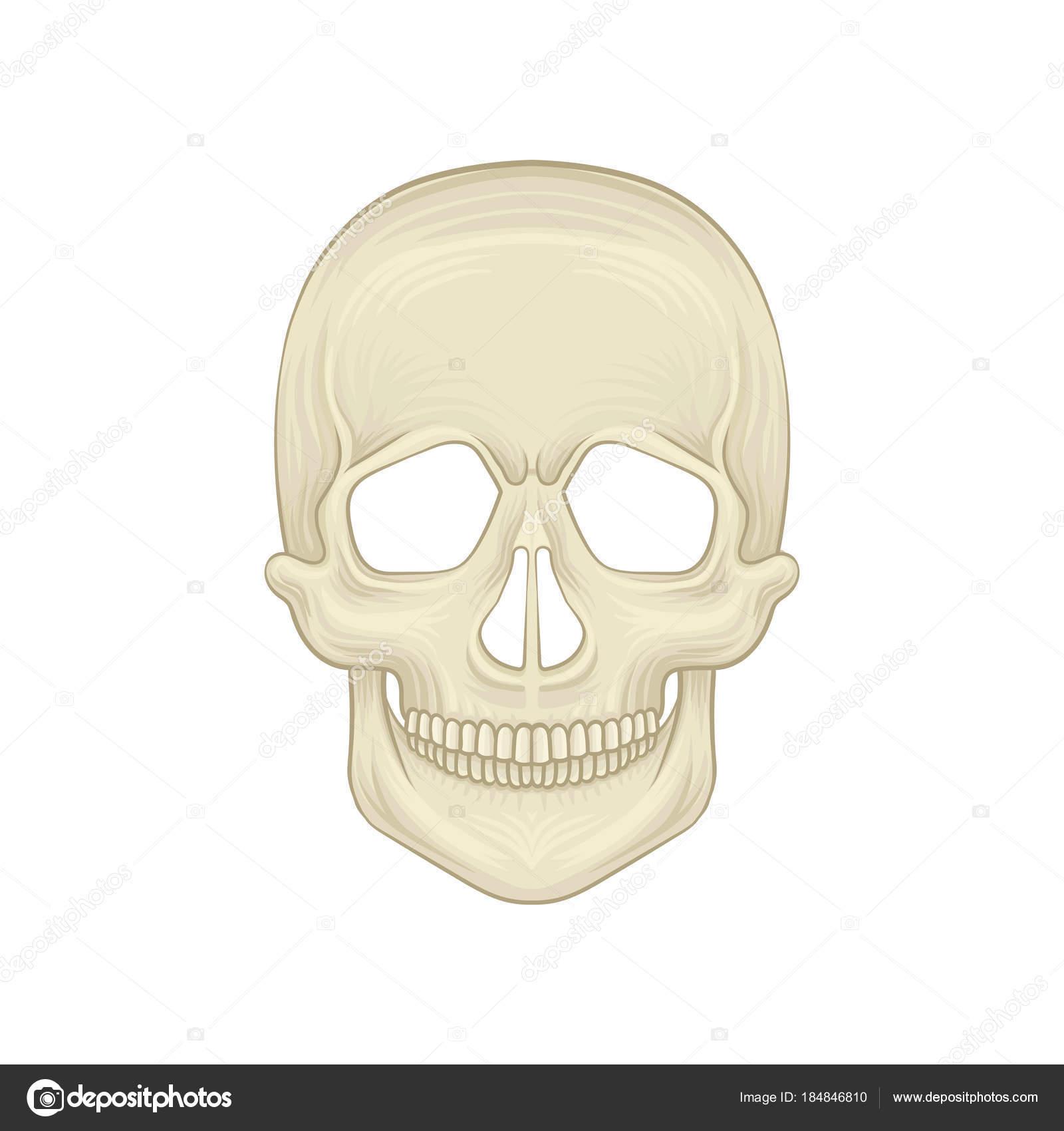 Estructura del cráneo humano - la parte ósea de la cabeza. Icono de ...