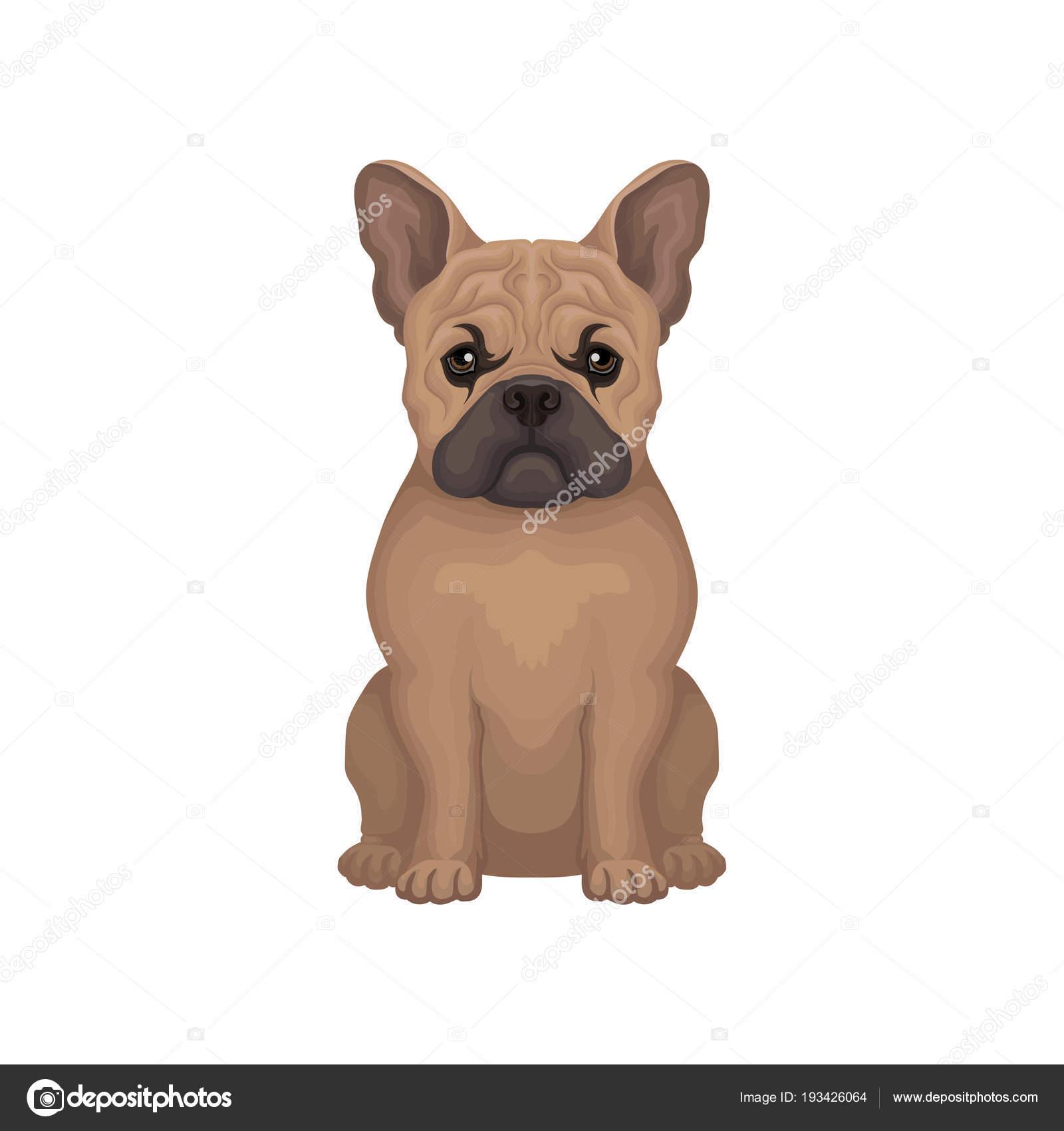 Ritratto del bulldog francese. piccola razza di cane domestico con