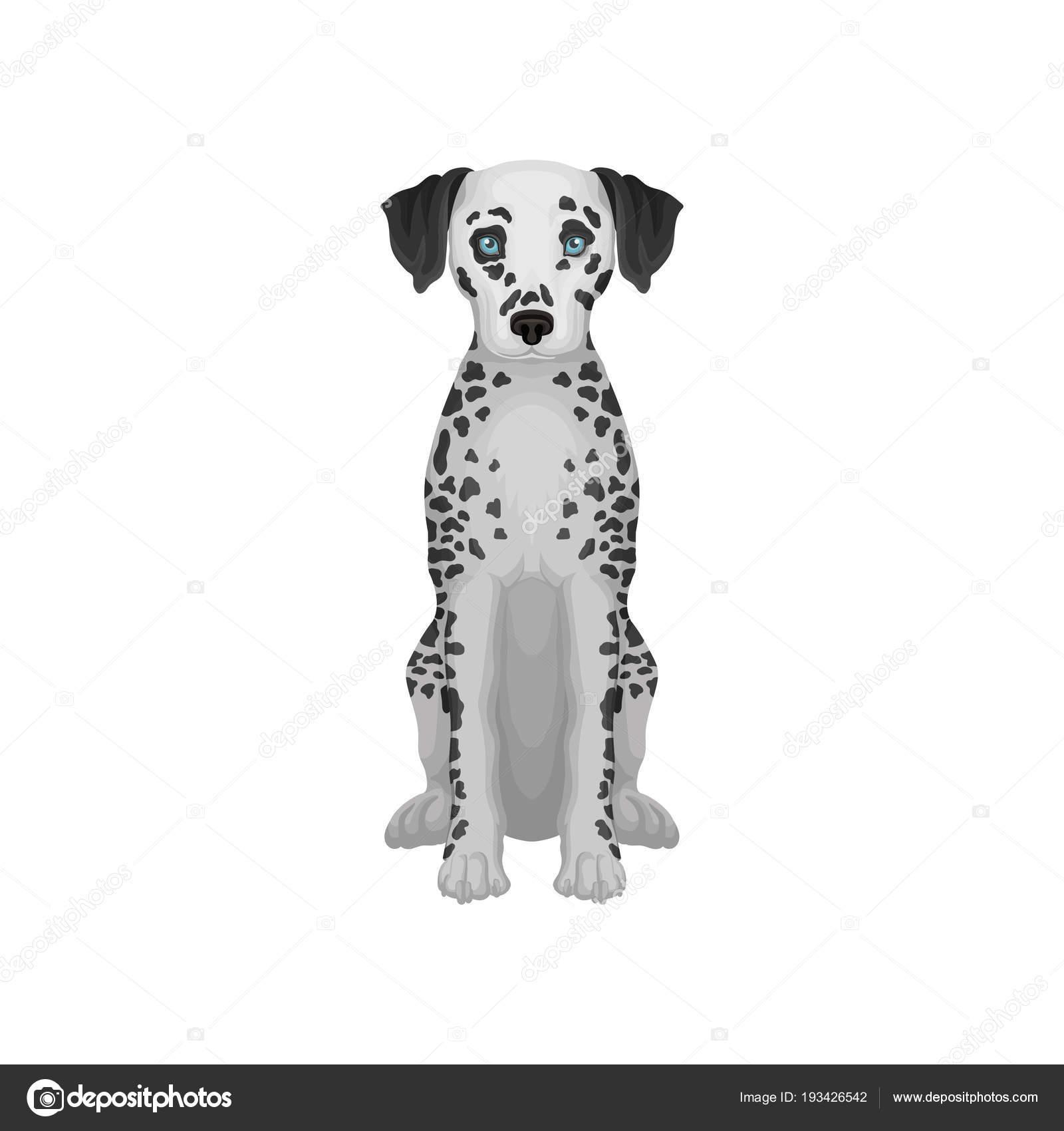 Rozkosny Dalmatin Pes S Modryma Ocima A Cernym Kulate Skvrny Na Tele