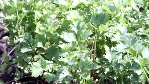 Zellerlevél a szélben. szerves növények termesztése a növények közelében