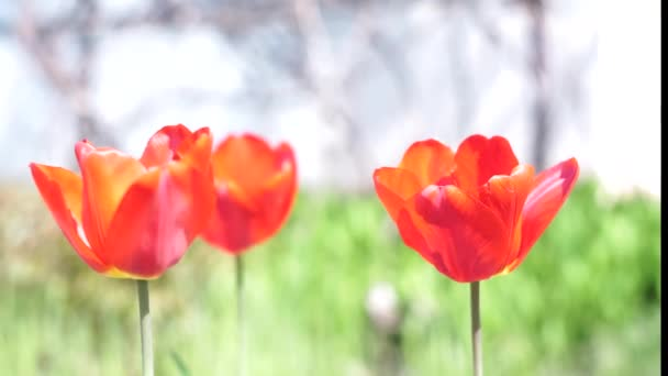 piros tulipán közelről természetes zöld háttér.