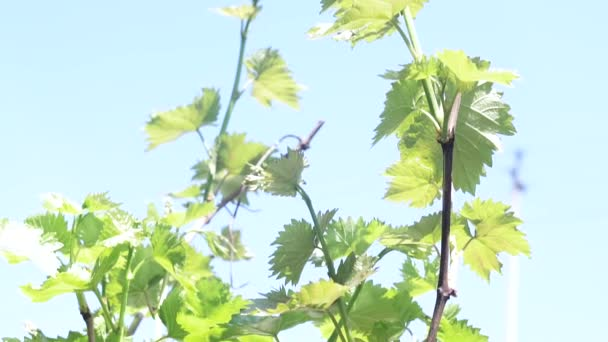 vine grape close-up plant close-up growing grapes. Vineyard for making wine