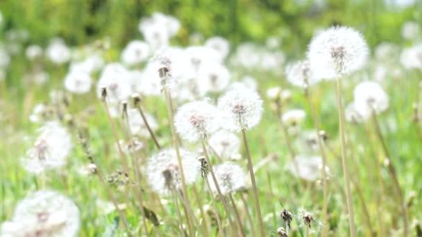 bílá pampeliška a svěží jarní zelená tráva na krásné louce. Letní koncept