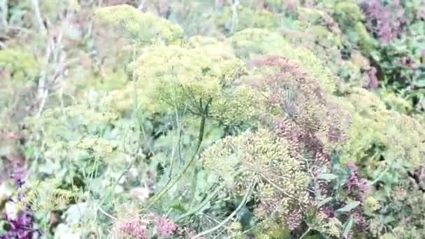 Flower of green dill fennel . natural background with flowers of dill