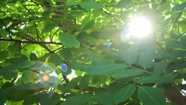 Sluneční paprsky se prodírají zelenými listy stromů. Živá textura se zelenými listy a praskajícími slunečními paprsky. Vlašský strom