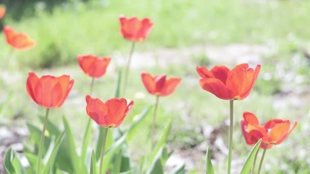 Campo di tulipani in una giornata primaverile. Fiore di tulipano decorativo in primavera. Bellezza della natura