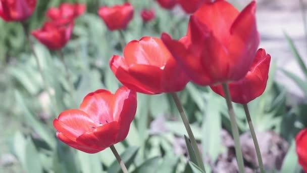 vörös tulipánbimbók egy napos nyári napon. Gyönyörű tulipán virágok a kertben
