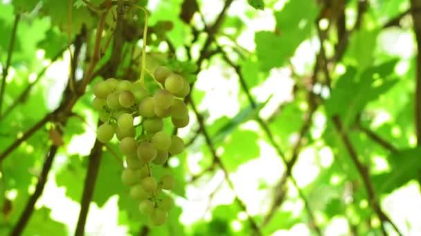 Érett fürtös fehér szőlőfajták a szőlő. természetes bortermelés. Biokaját. Szőlőszüret