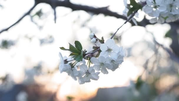 flowering cherry tree, a branch with small white inflorescences in early spring. against the setting sun