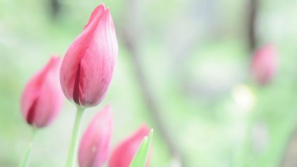 tulipány květiny kvetou v jarní zahradě.Dekorativní tulipán květ na jaře.Krása přírody a zářivé barvy