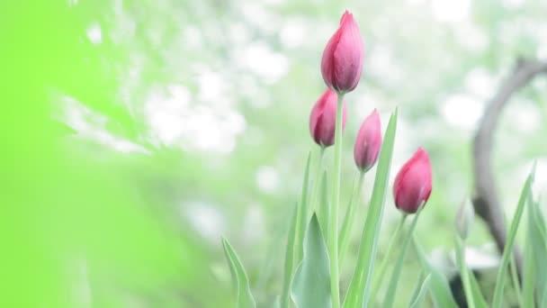růžové tulipány na přirozeném zeleném pozadí na jaře. Kvetoucí květiny na zahradě. pěstování květin na prodej