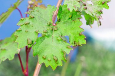 diseases of grape leaves. caused by a parasite or insect, bites, living within the vines. Does not affect grapes.