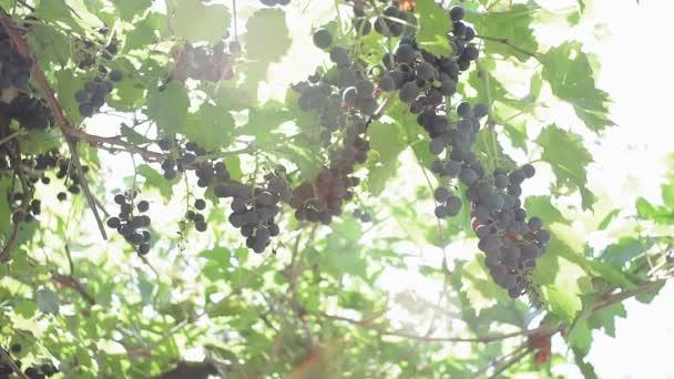 Egy csomó fekete szőlő a szőlőskertben. biotermő szőlő gyümölcslé és bor készítéséhez