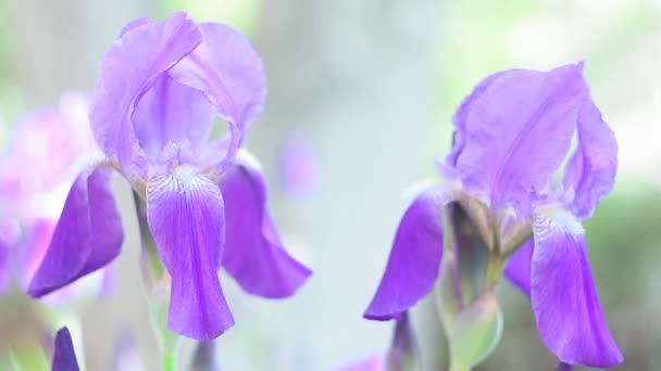 iris flower on green, in a sunny spring garden, beautiful outdoor floral background with soft focus