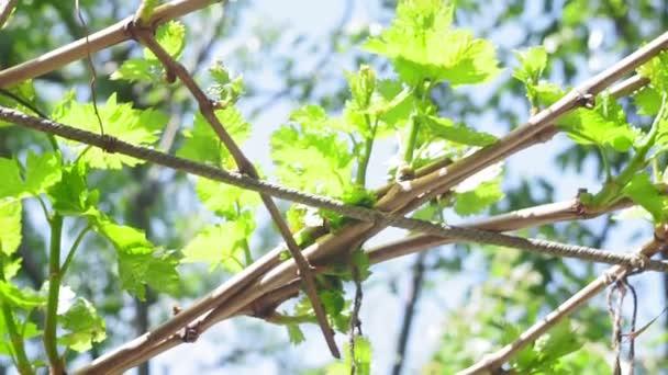 szőlőlevelek, szőlőültetvények szelektív fókusza