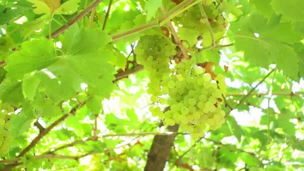 bunches of green grapes in the vineyard. on a branch in bright sunlight