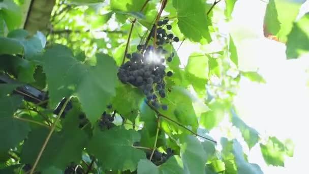 Vörösbor szőlő, Szőlőültetvények naplementekor, Szőlőszüret, Szőlő.
