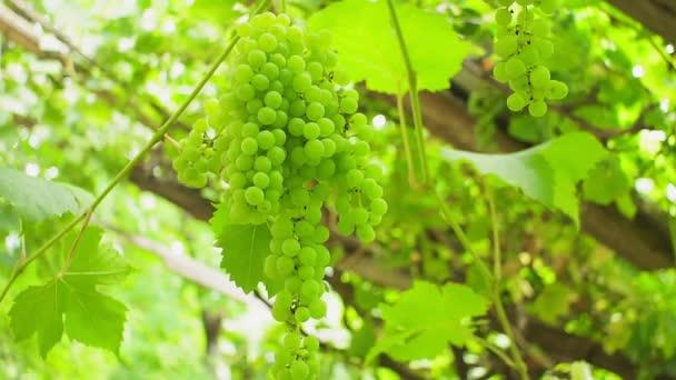 szőlő a szőlőskertben. bio gyümölcs a kertben