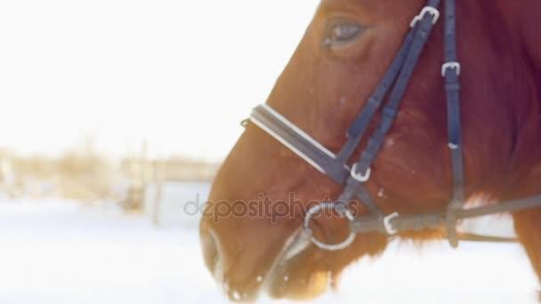 Závan hnědé koně v zimě. Zpomalený pohyb.