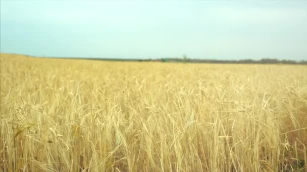 Wheat field at dawn. The wind swings the spikelets in different directions. The camera swivels from left to right.