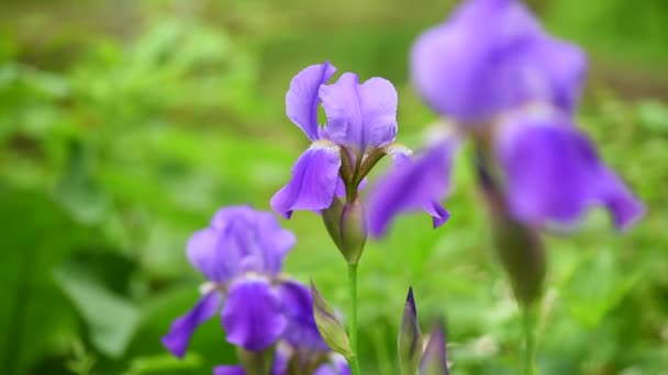 Iris flower, spring flowers
