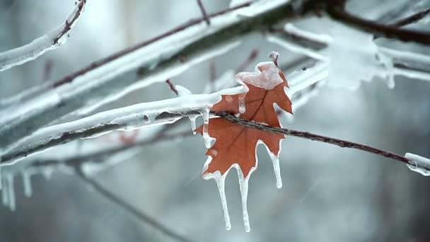 Poslední osamělý podzimní list ledového větvi v zimě