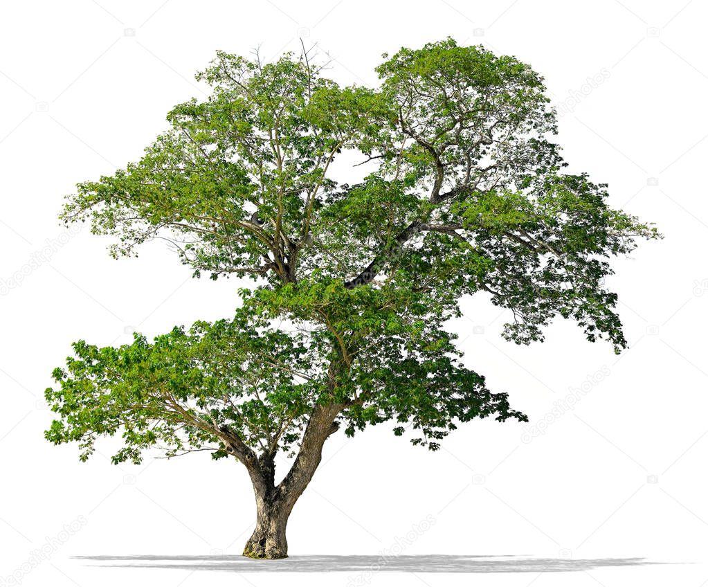 Big Rain tree whith loudspeaker isolated