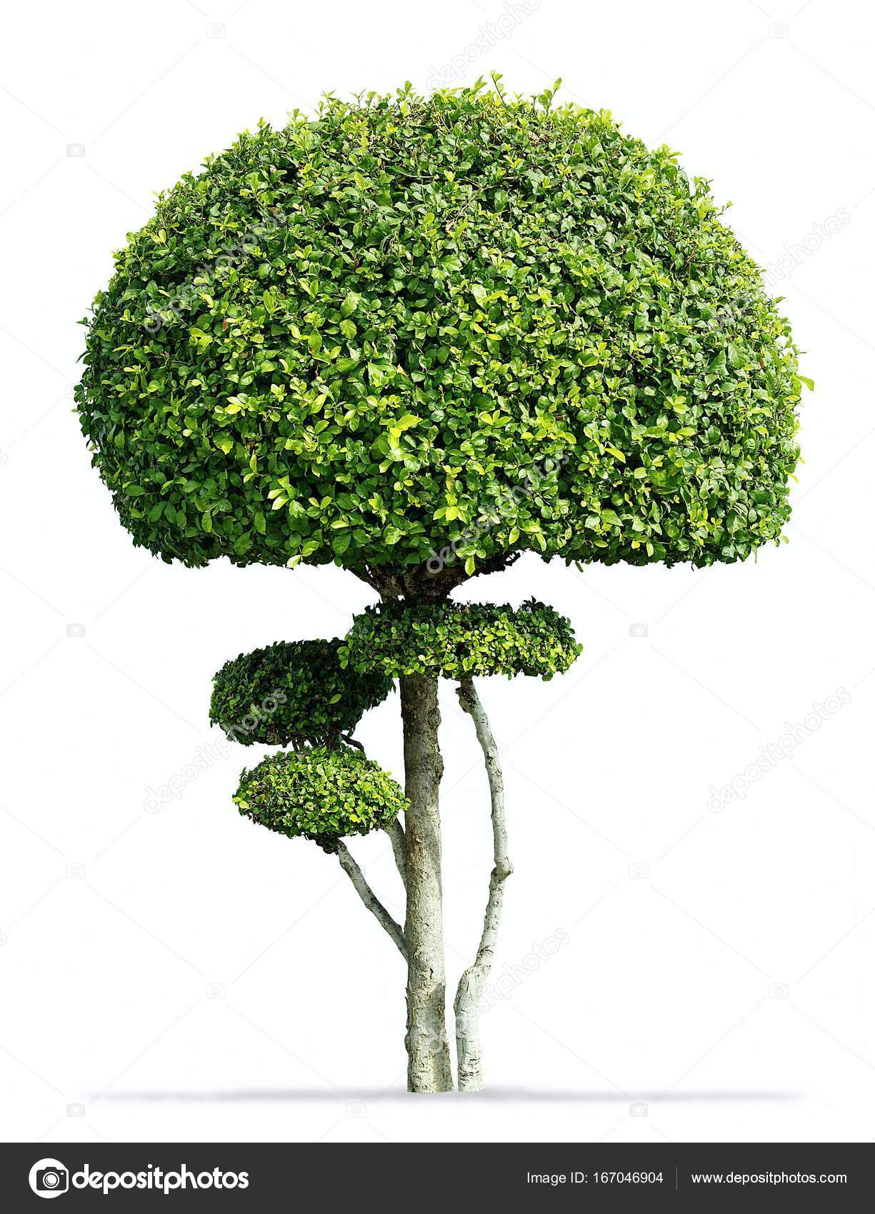 Fukien Tea Tree Isolated Carmona Retusa Masam Stock Photo C Crprin 167046904