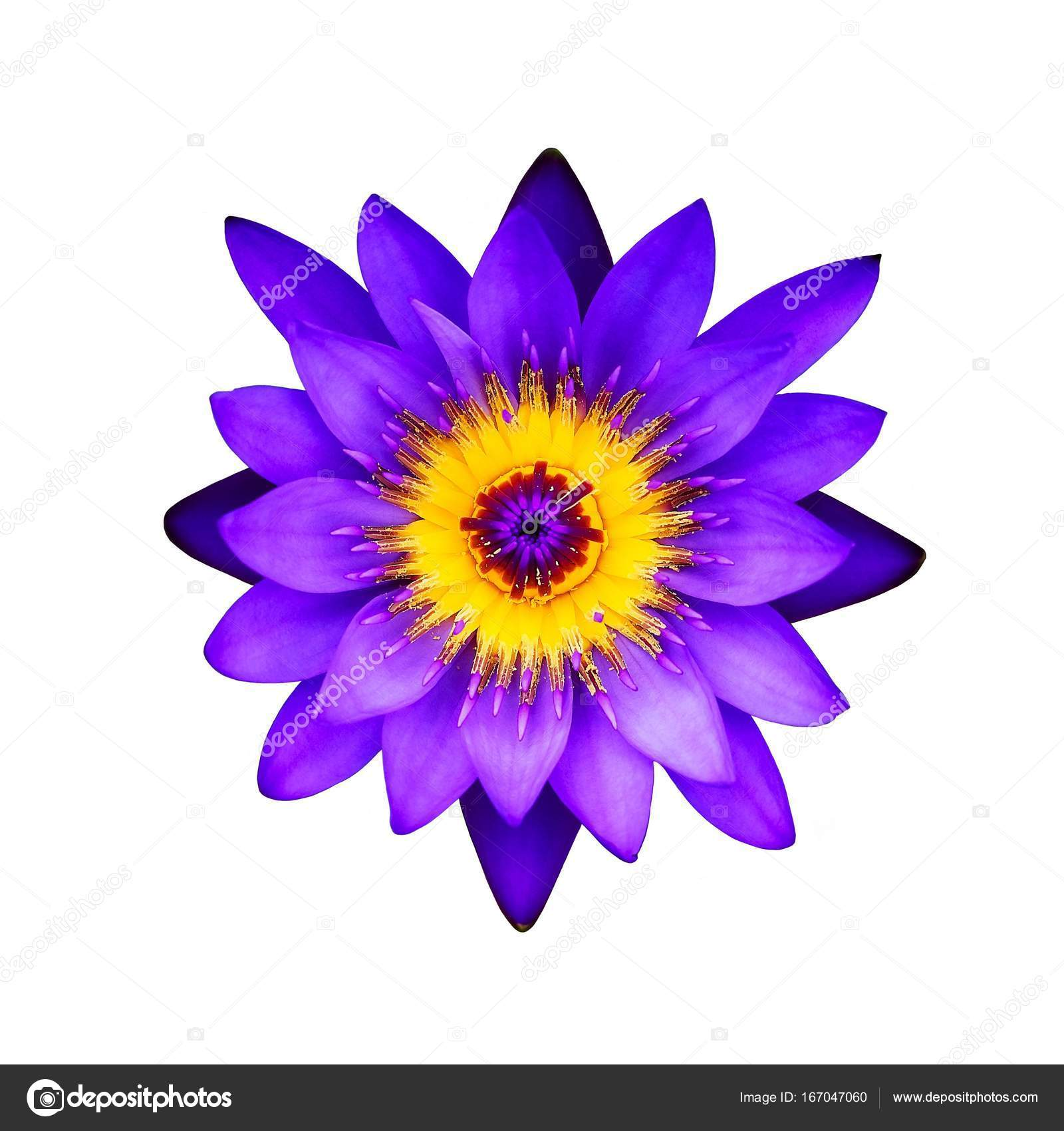 Purple lotus flower on a white background top view stock photo close up purple lotus flower on a white background top view photo by crprin izmirmasajfo