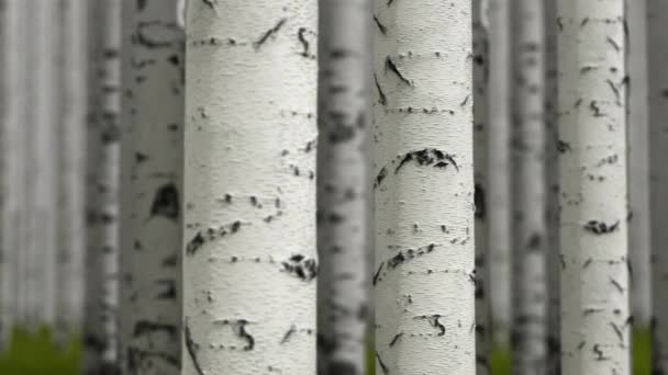 Close-up of birches, loopable