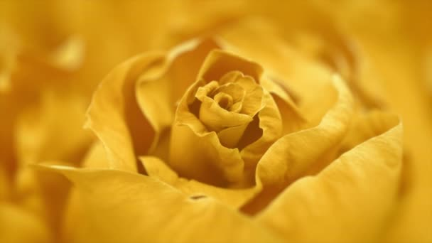 Close up of opening yellow rose, blooming yellow roses