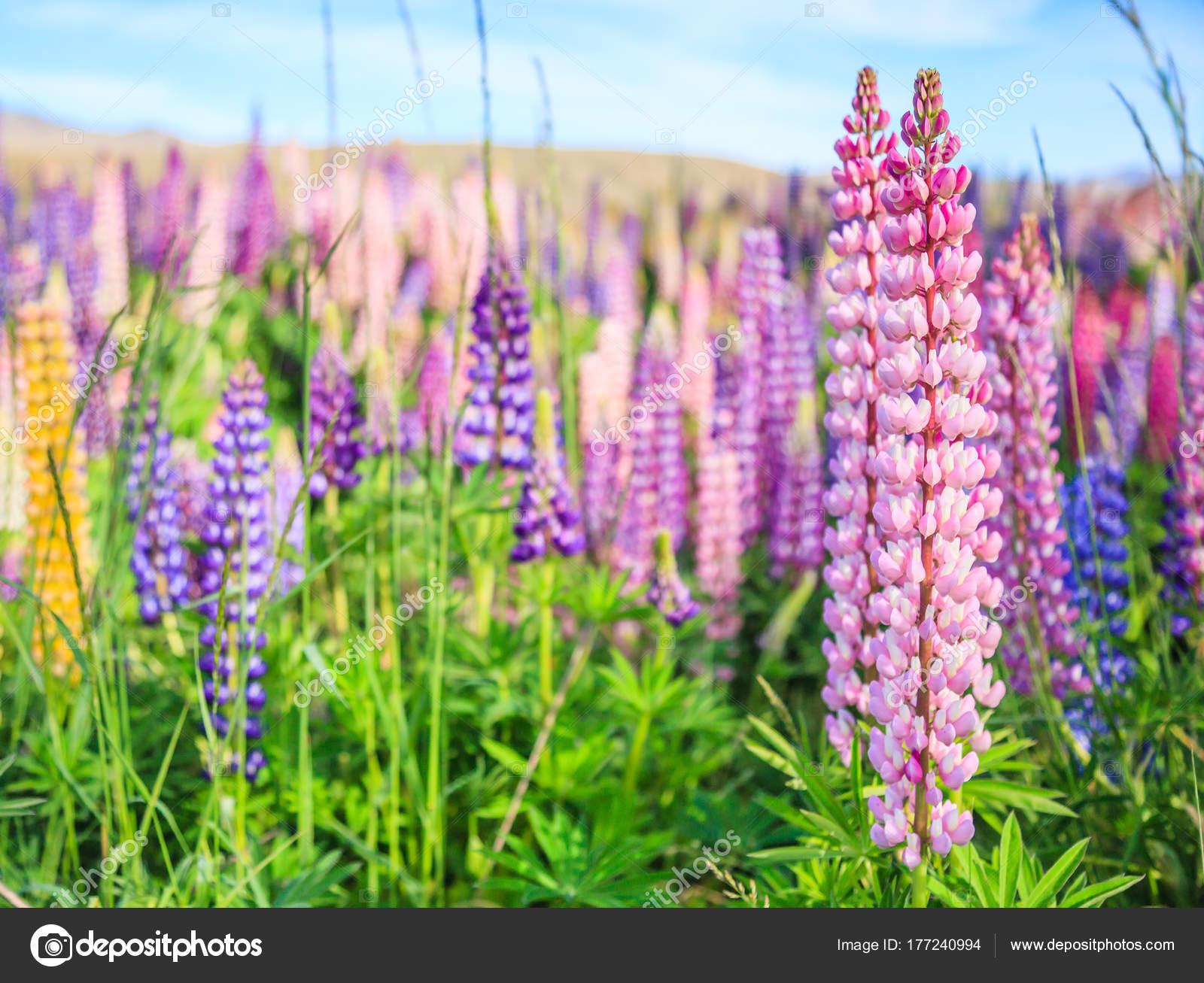 Vue Champ Fleur Lupin Pres Paysage Lac Tekapo Nouvelle Zelande