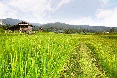 rice terrace at chiangmai , thailand