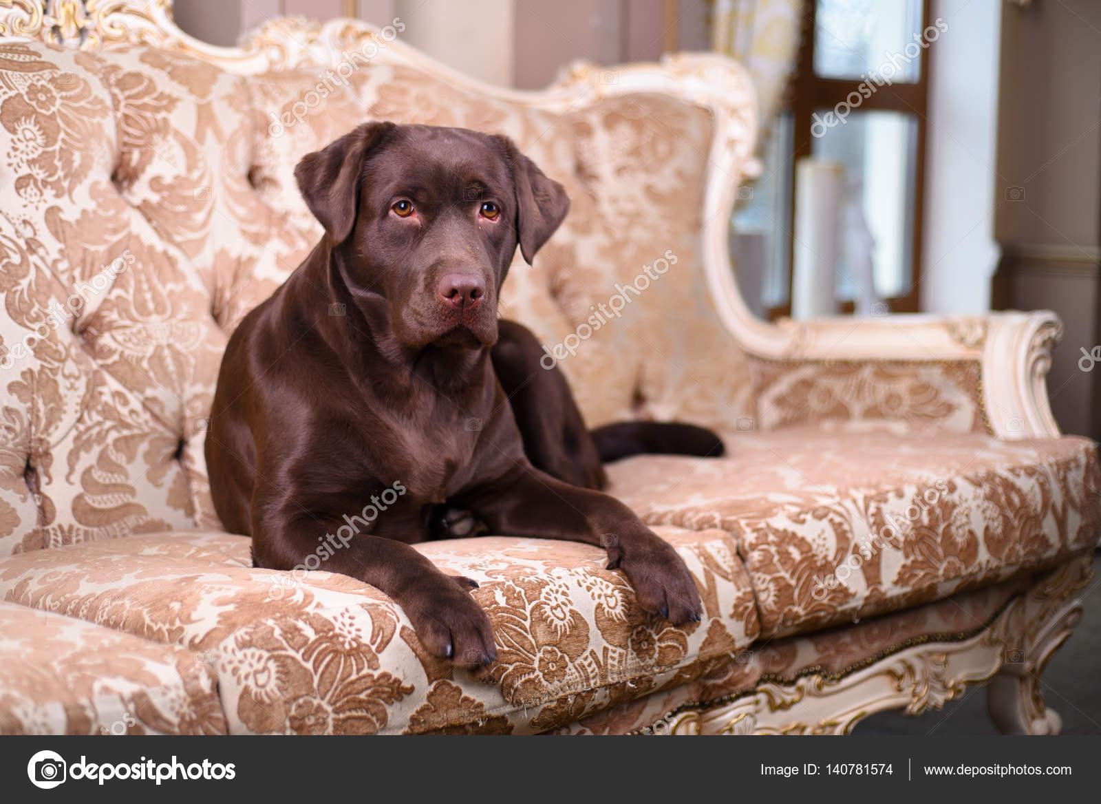 Woonkamer Vintage Bank : Bruine labrador puppy liggend op een luxe vintage bank u stockfoto
