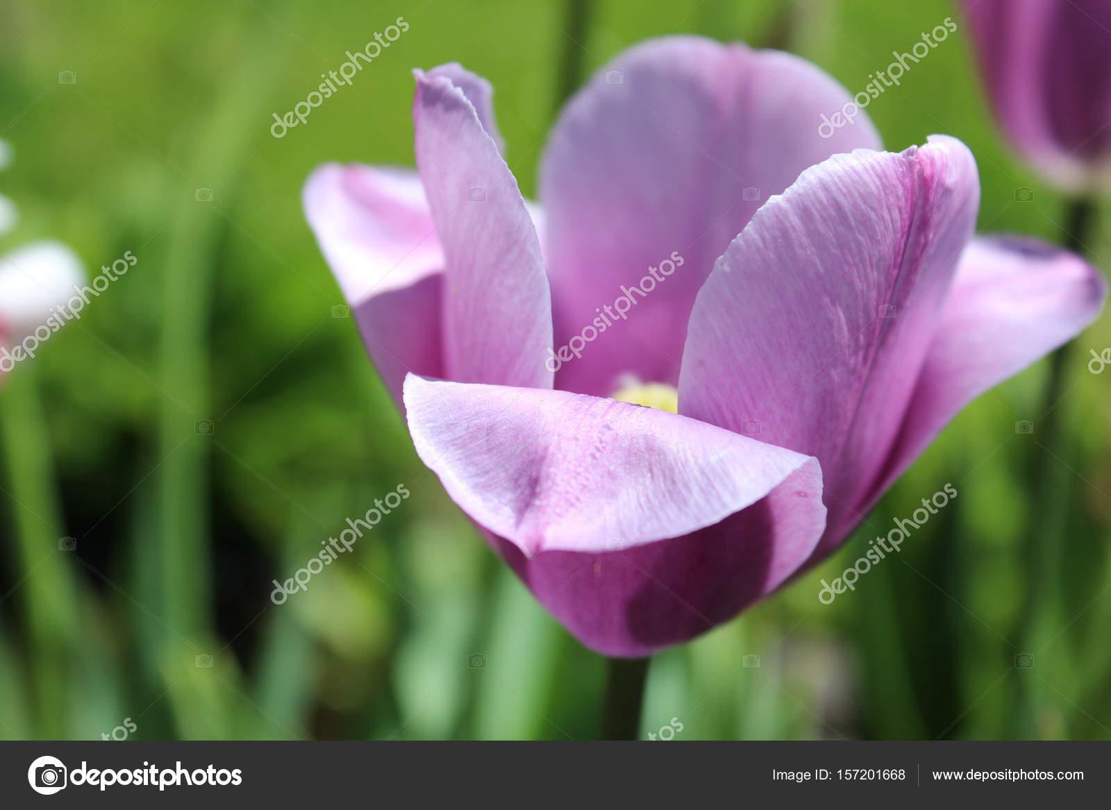 Tulipani Viola E Rosa Su Sfondo Verde Primavera Foto Stock