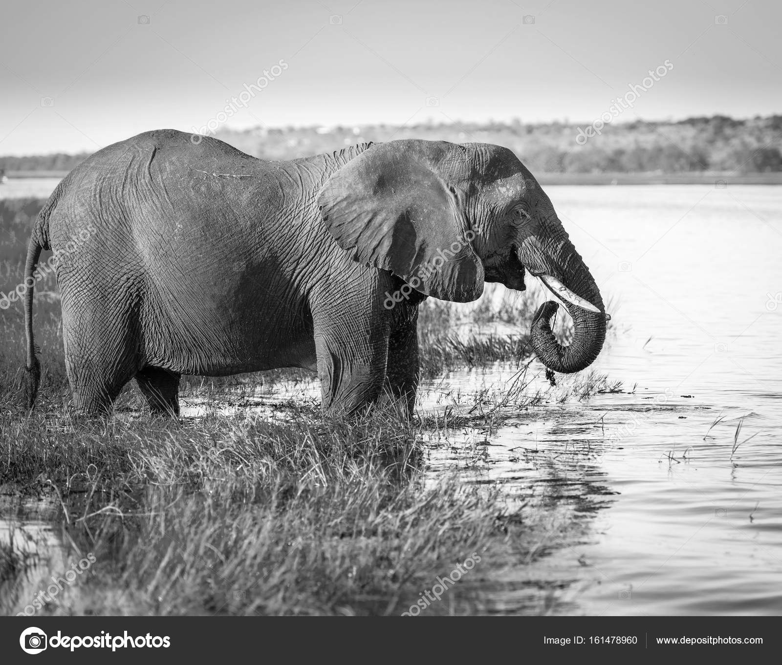 Chobe Nationalpark Elefanten Schwarz Weiß Stockfoto Thpstock