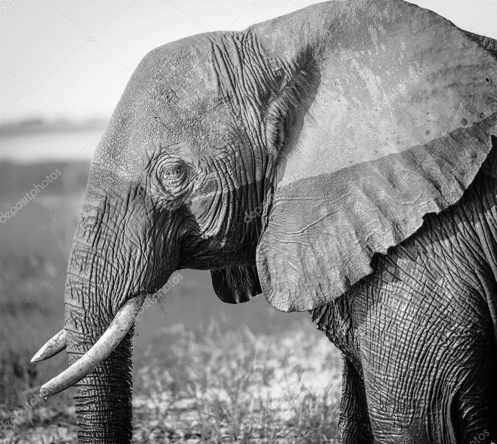 Elephant in Chobe National Park, Botswana, Africa in black and white stock vector
