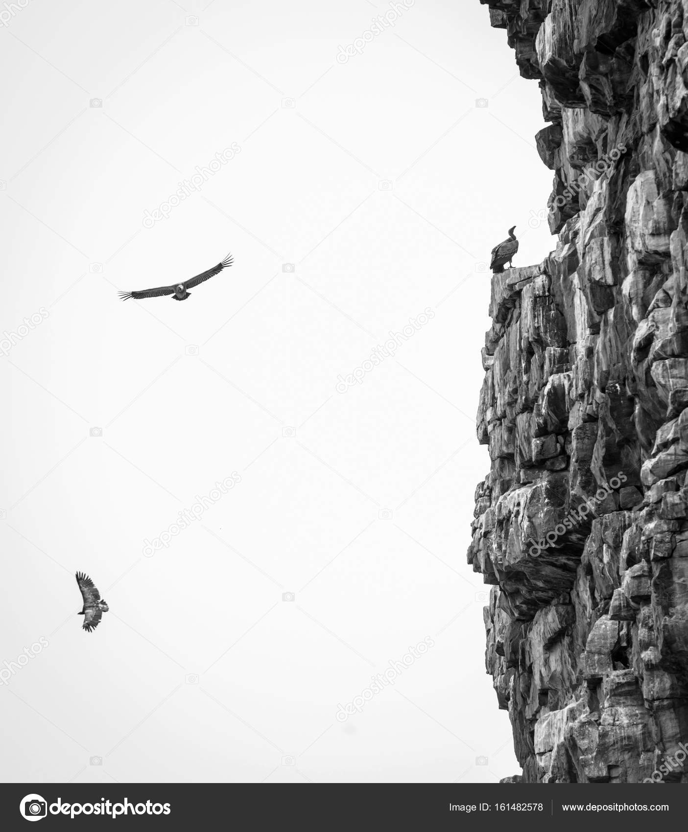 Vultures soaring black and white stock photo